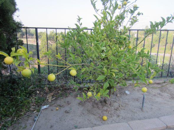 柠檬和橙子的嫁接