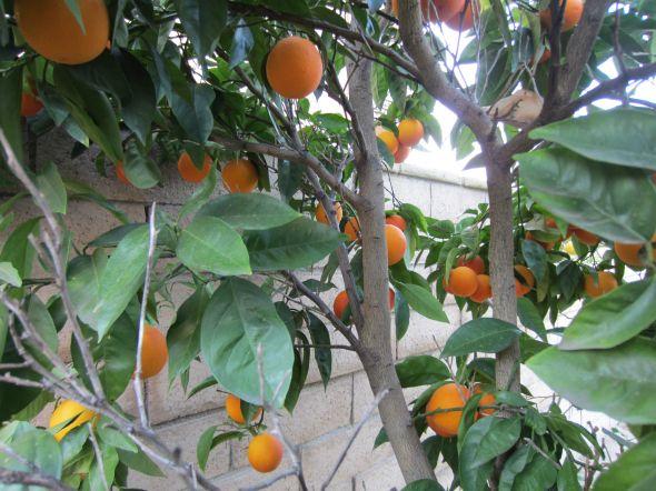 桃树,橘子树